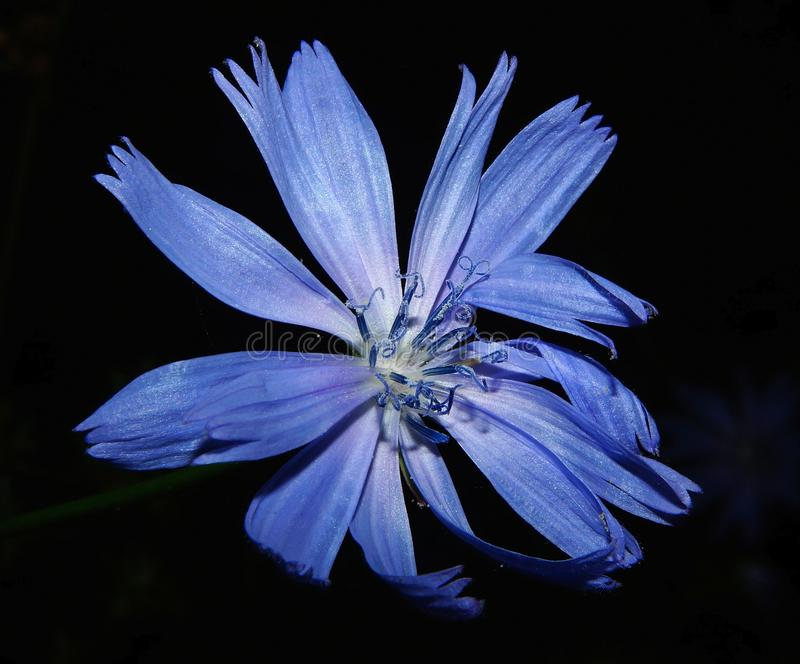 Blue, Flower, Flora, Chicory stock photos