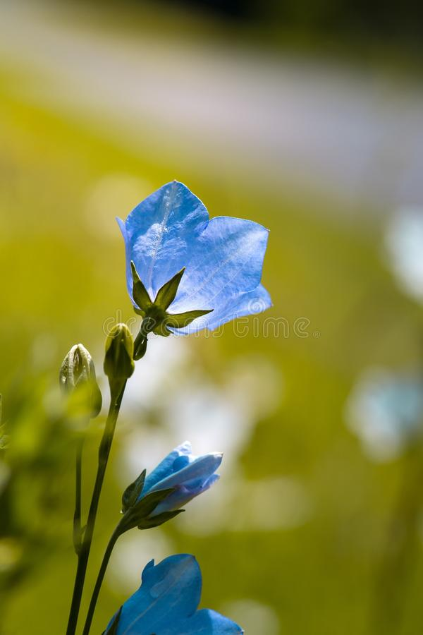 Blue, Flower, Flora, Wildflower royalty free stock images