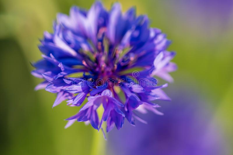 Blue flower on the grass in the park stock photography
