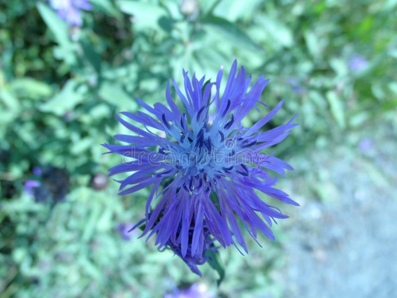 Blue flower on green background stock image
