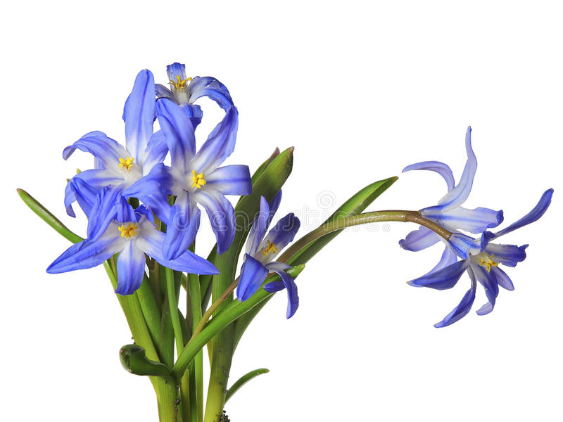 Blue, flower, isolate, white background stock photography