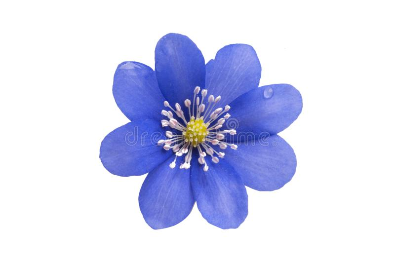 Blue flower isolated. On white background stock photos