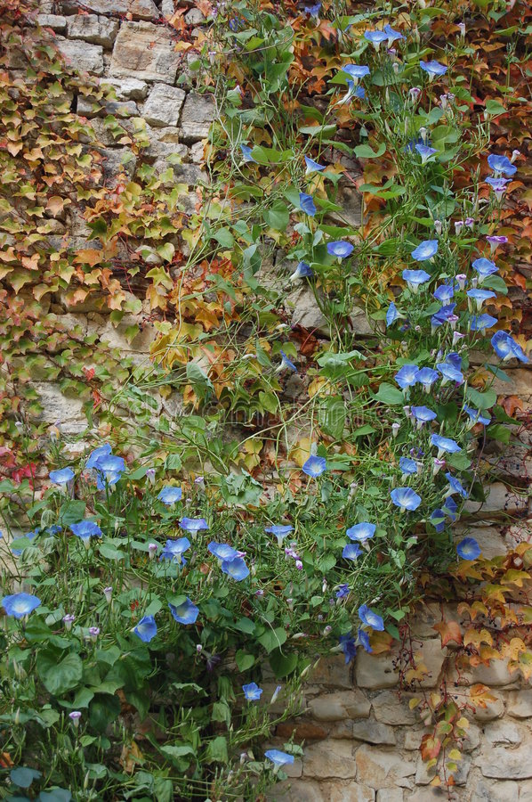 Blue flower ivy on old stone wall stock photo