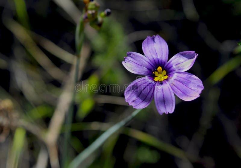 Blue flower of Lucerne Blue-Eyed Grass royalty free stock images