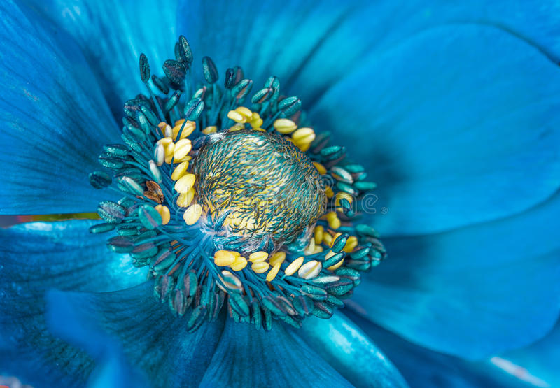Blue flower macro. Blue flower head macro closeup royalty free stock photo