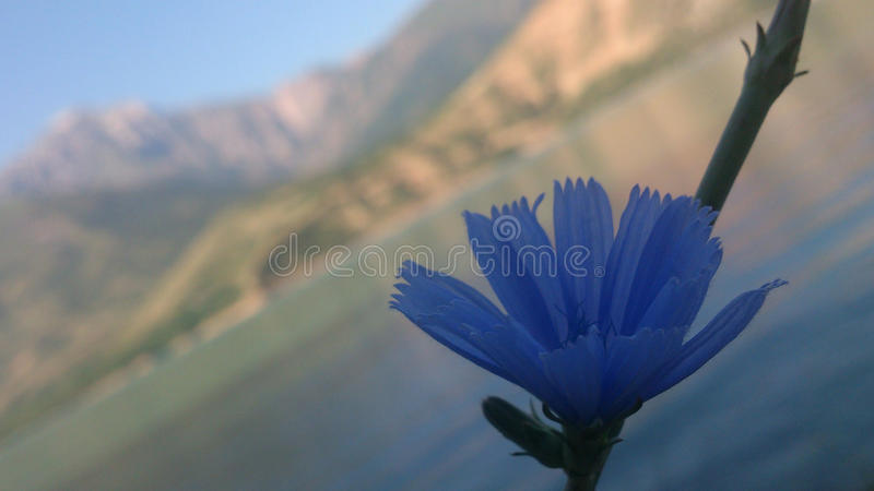 The blue flower in mountain charvak Uzbekistan stock photo