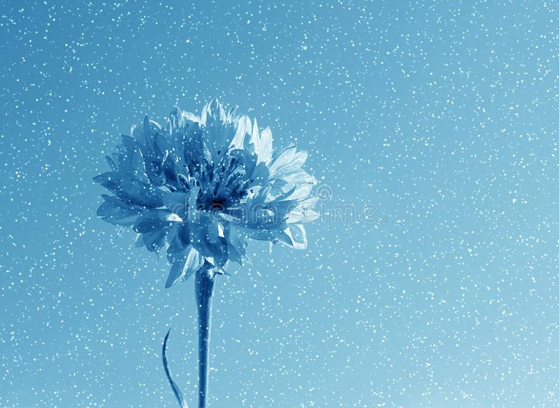 Blue flower in snow stock photo