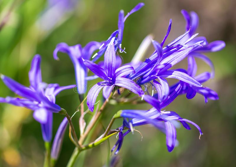 Blue flower in the spring steppe stock images