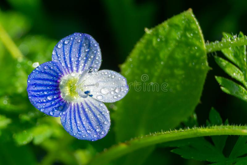 Blue flower Veronica persica or Persian speedwell isolated on green background royalty free stock image