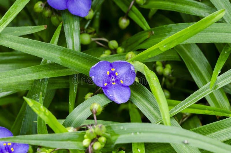 Blue flower with vibrant yellow stamens. Virginia spiderwort Tradescantia virginiana. Beautiful blue flower with vibrant yellow stamens. Close up stock photography
