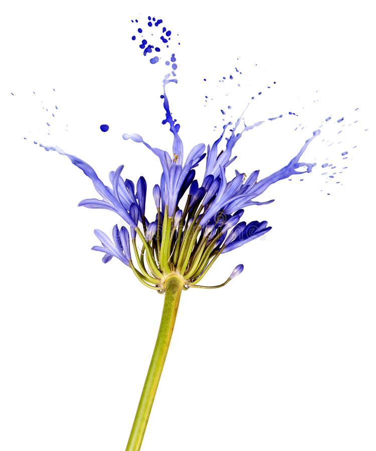 Free Blue Flower With Splashes Stock Images - 27701414