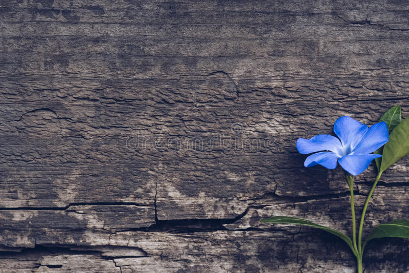 Blue flower on wooden background. Blue flower periwinkle royalty free stock image