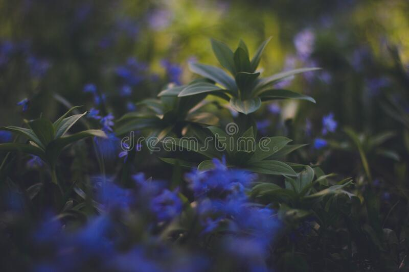 Download Blue Flowering Green Plaant Stock Photo - Image of photo, stock: 83019248