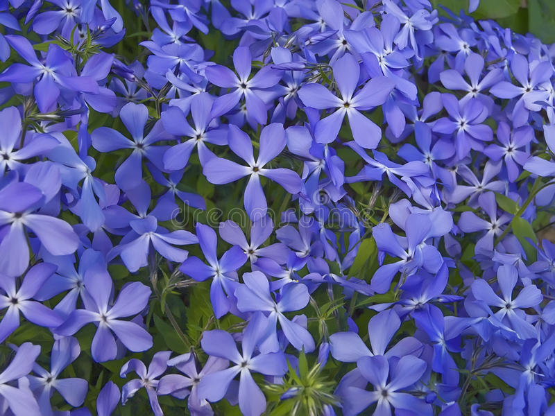 Download Blue flowers stock photo. Image of matthiola, color, bouquet - 12140206