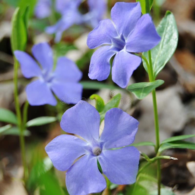 Free Blue Flowers Stock Image - 13724981