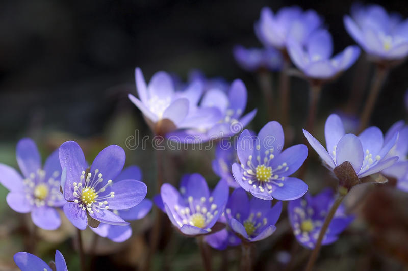 Blue flowers stock images