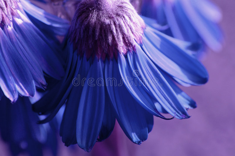 Download Blue Flowers stock image. Image of dying, cold, focus, pedals - 29525