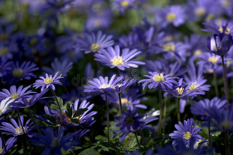 Download Blue flowers stock photo. Image of garden, unique, nature - 6513988