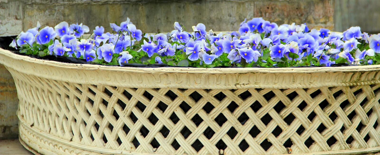 Blue flowers in the basket stock photos