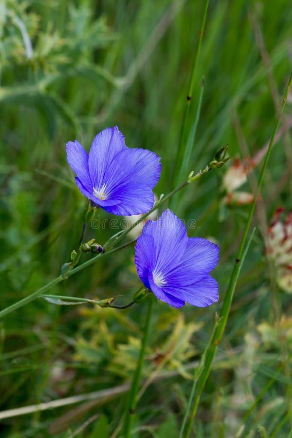 Blue flowers. (bluebells - uvula) wild green field royalty free stock photos