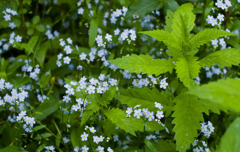 Blue flowers. Clipart little wild flowers in the forest royalty free stock photography