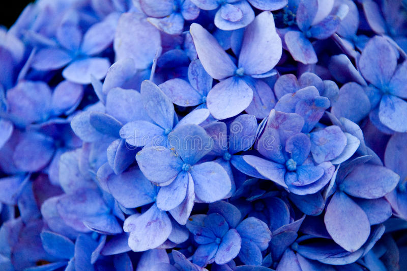 Blue flowers - close up royalty free stock photography