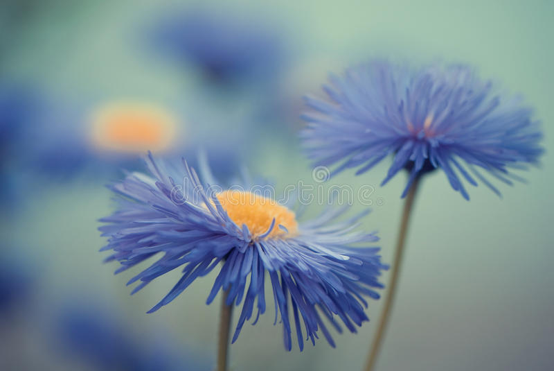 Blue flowers closeup royalty free stock images