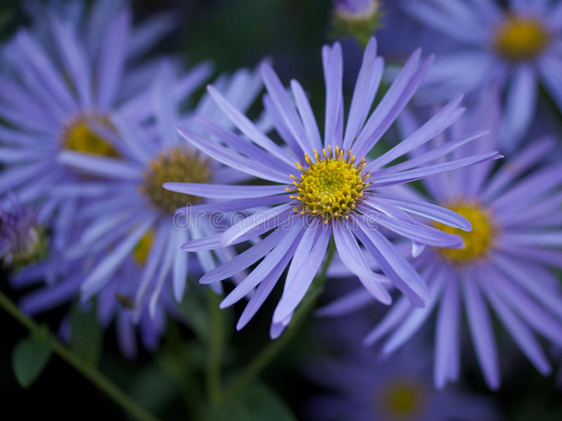 Blue flowers royalty free stock photography