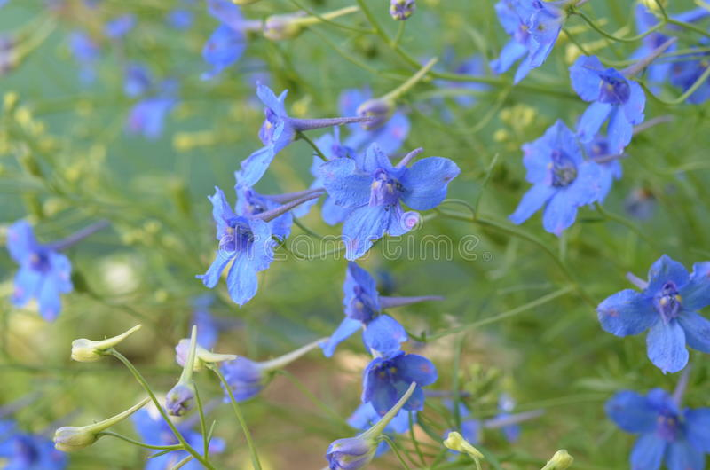 Blue flowers of delphinium royalty free stock images
