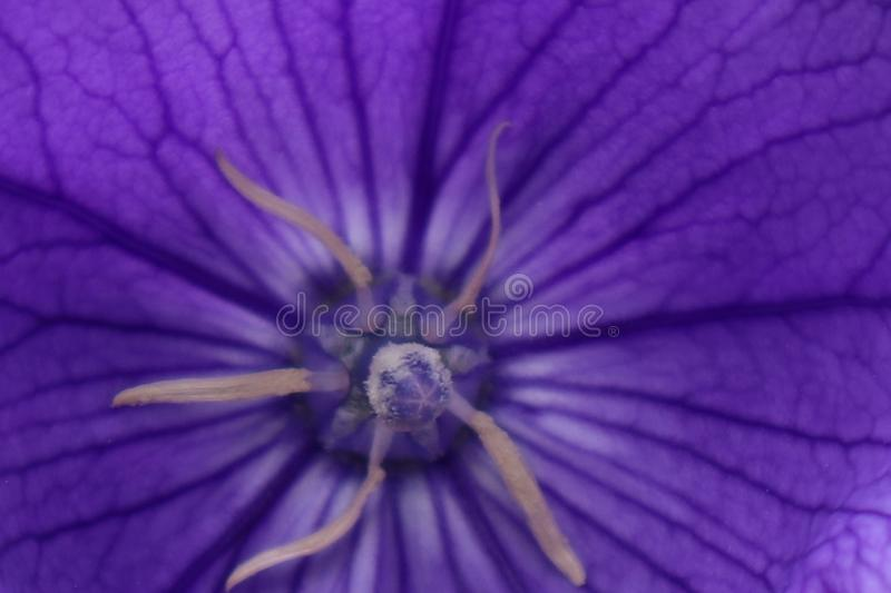 Blue flower. petals and stamens. clouseup. royalty free stock photos