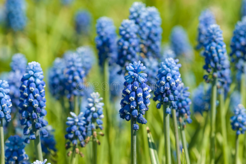 Blue flowers in the field stock photos