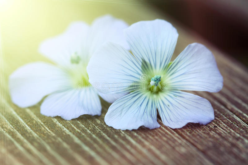 Download Blue flowers of flax stock photo. Image of herbal, ingredient - 25716584