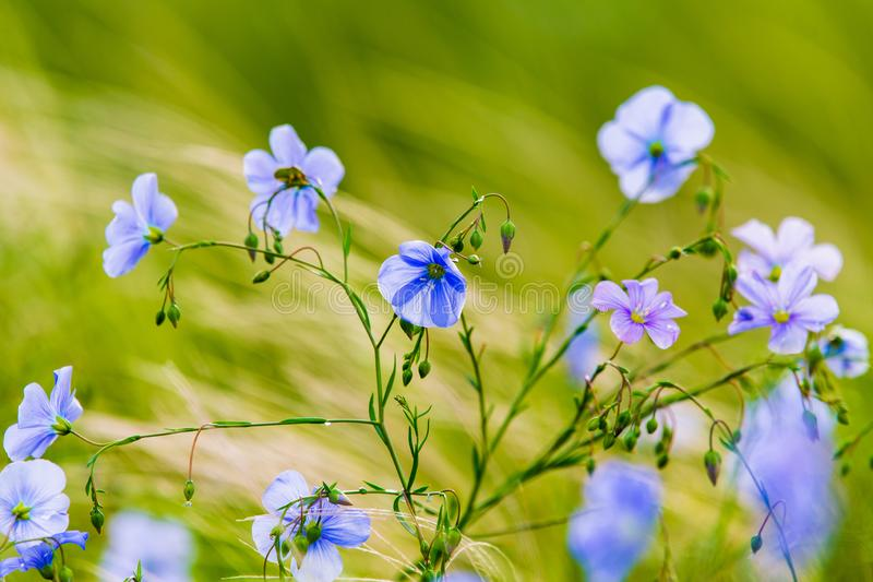 Blue flowers of flax in a field against green background, in summer, close up, shallow depth of field stock photography