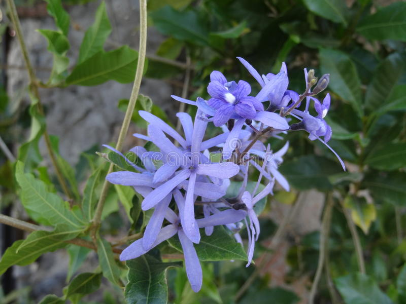 Blue flowers. Flores Azules stock photo