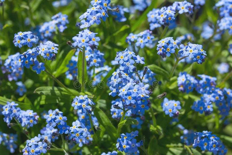 Blue flowers forget-me-not Myosotis arvensis royalty free stock photography