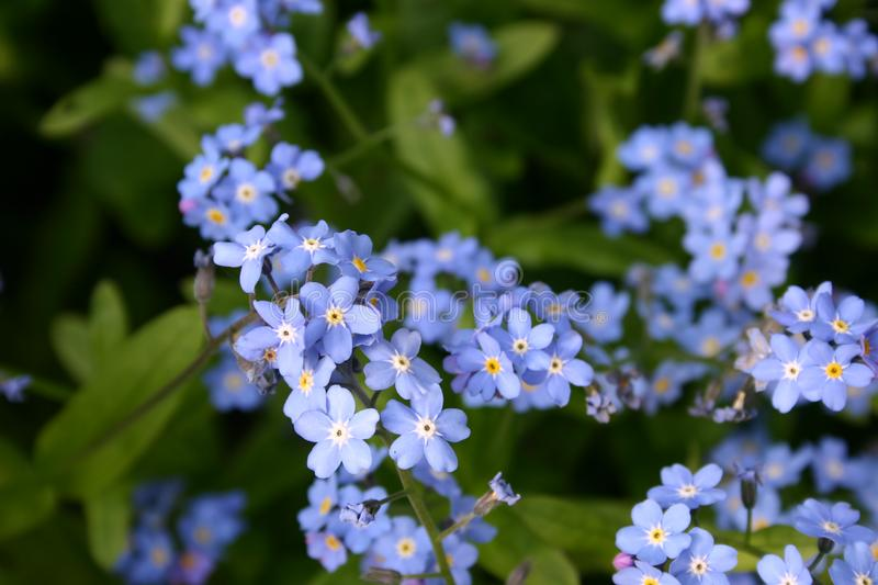 Blue flowers of forget-me-not plant stock photography