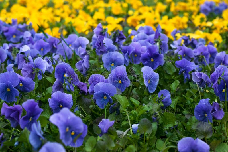 Blue flowers in the garden. Field of violet pansies. Heartsease, pansy background. Floral pattern. Flower season. Wild nature. Pur stock photography