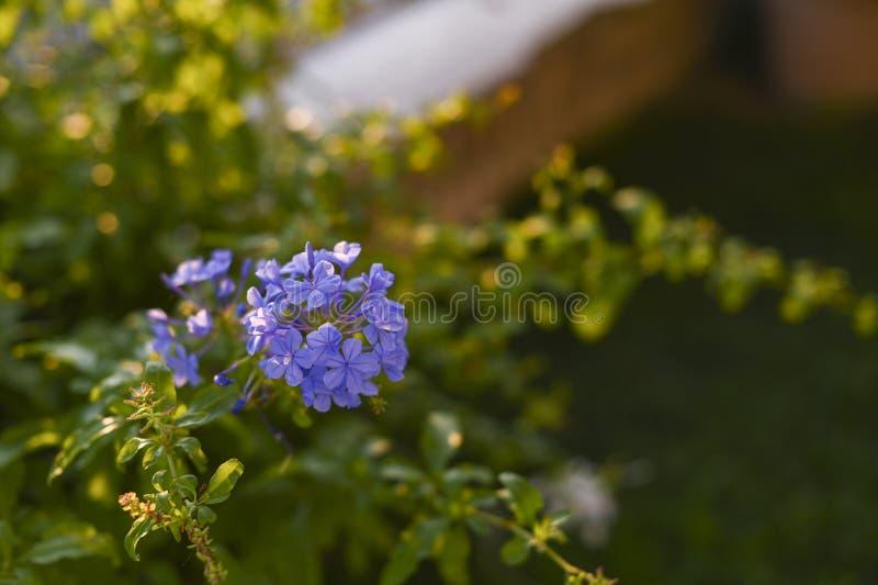 Blue flowers on a green bush in the garden. Plants and nature. Blue flowers on a green bush in the garden. Plants and nature stock photography