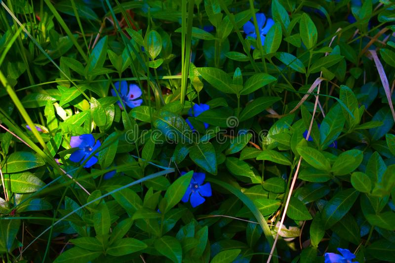 Blue flowers in green grass. stock photography