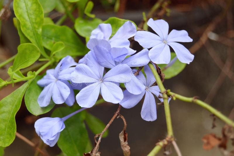 Blue flowers on a green leaf plant. Five Petaled Blue Flowers In a Green Leafed Plant with dead leaves at the bottom stock images