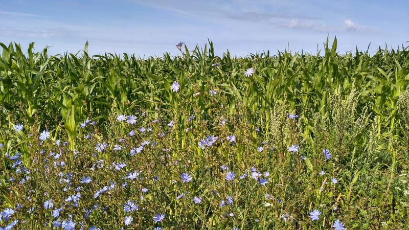 blue flowers grown on a corn field stock images