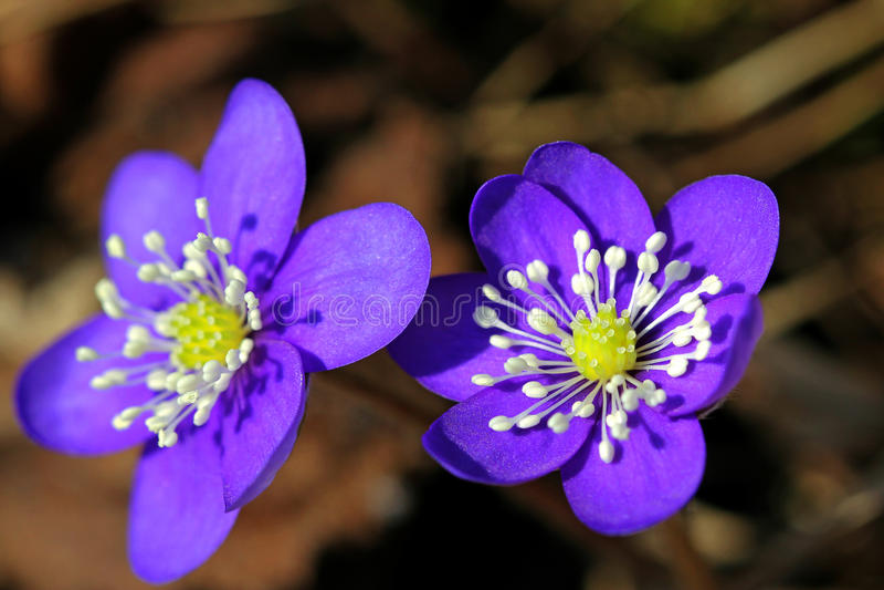 Blue Flowers of Hepatica nobilis royalty free stock photo
