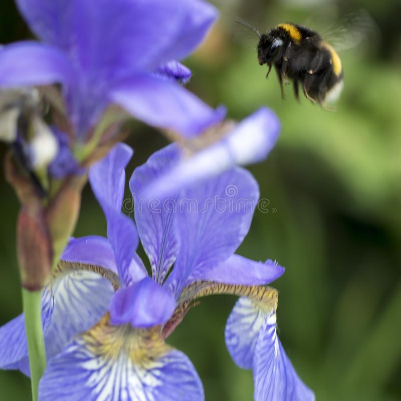 Blue flowers iris bloom in the summer garden. Bumblebee collects nectar in flower of the iris stock photo