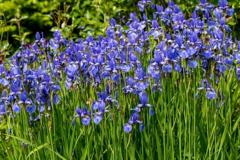 Blue flowers Iris versicolor beautifully blooming in the garden. Blue flowers Iris versicolor beautifully blooming in the garden royalty free stock image