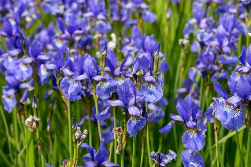 Blue flowers Iris versicolor beautifully blooming in the garden. Blue flowers Iris versicolor beautifully blooming in the garden royalty free stock photos