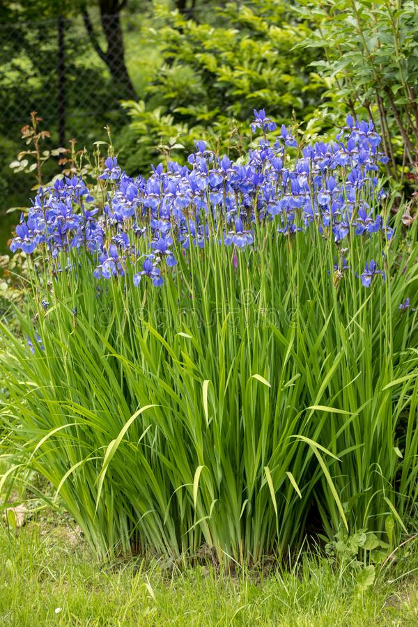 Blue flowers Iris versicolor beautifully blooming in the garden. Blue flowers Iris versicolor beautifully blooming in the garden stock image