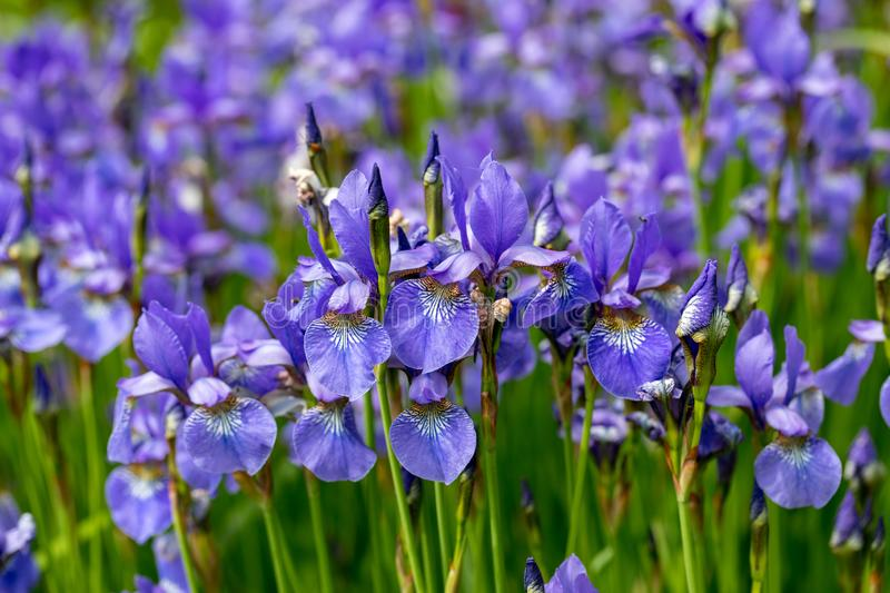 Blue flowers Iris versicolor beautifully blooming in the garden.  royalty free stock image