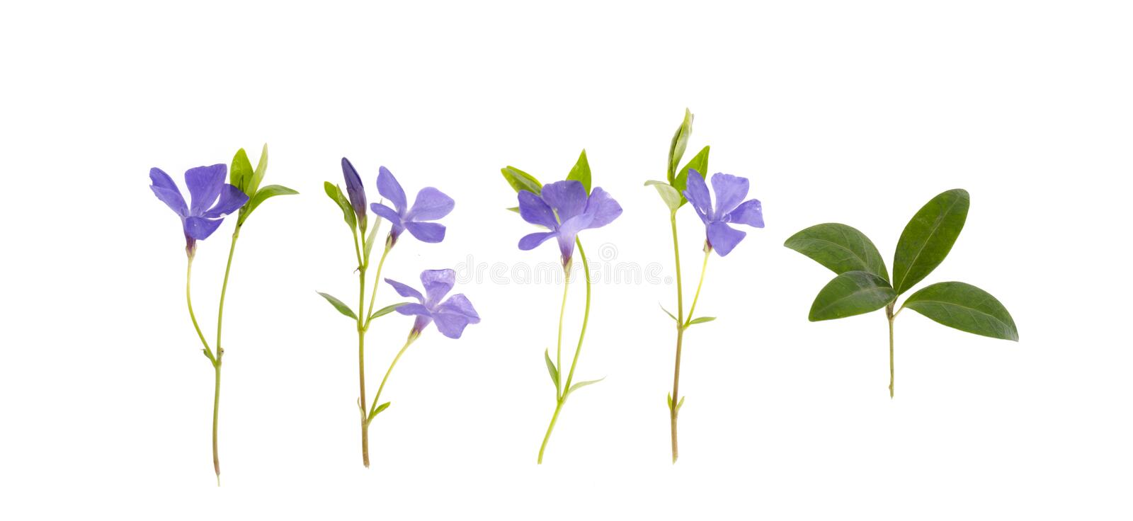 Blue flowers and leaves of vinca isolated on white background. Studio Photo stock image
