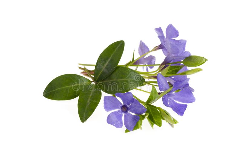 Blue flowers and leaves of vinca isolated on white background. Studio Photo royalty free stock photos