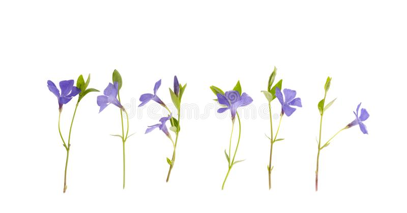 Blue flowers and leaves of vinca isolated on white background. Studio Photo royalty free stock photography